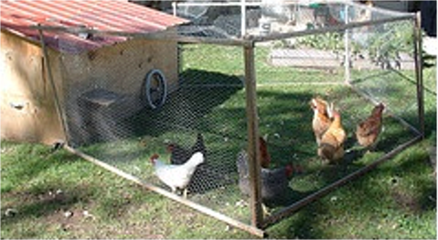 raise backyard chickens the benefits of personally rearing chickens