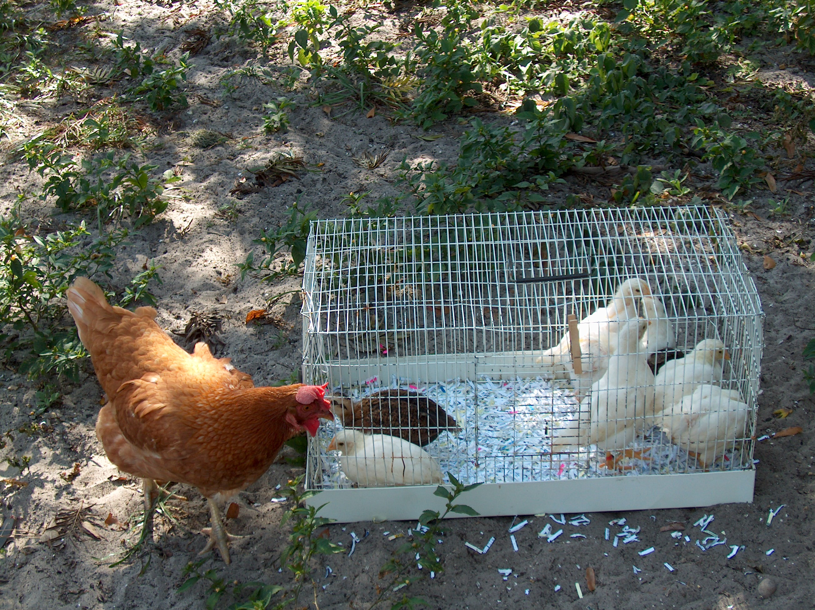 to raise backyard chickens how to raise backyard chickens
